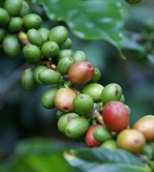 Cafe-Copan-Premium-High-Grown-Coffee-Beans-from-Honduras_v001